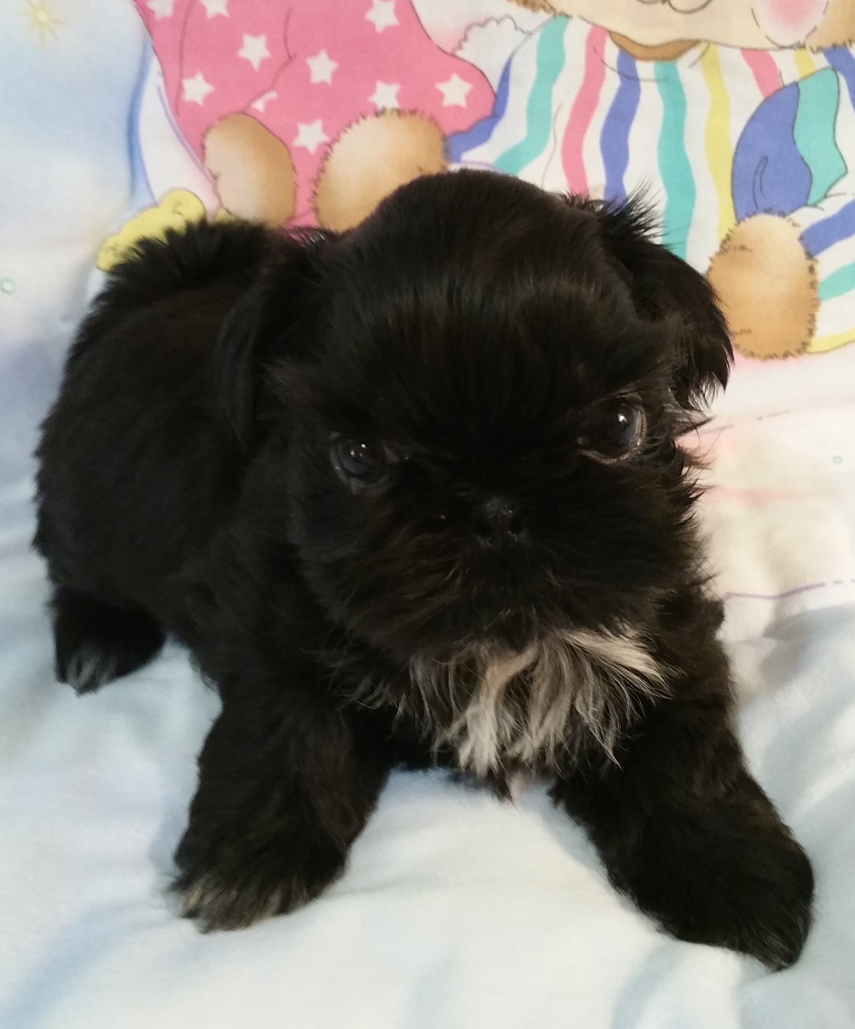 Buy Top Quality Champion Sired Female Shih Tzu Puppies For Sale
