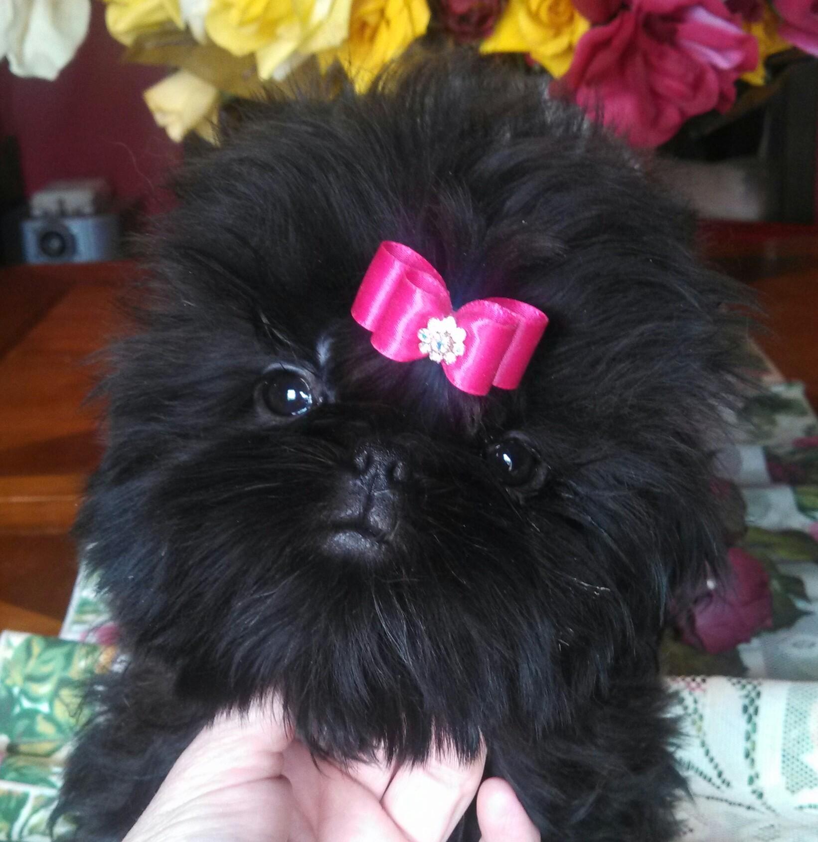Buy Show Quality Shih Tzu Puppy Male Shih Tzu Puppies For Sale